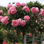 Штамбовые розы на пике славы