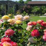 Розы как дополнение садового дизайна